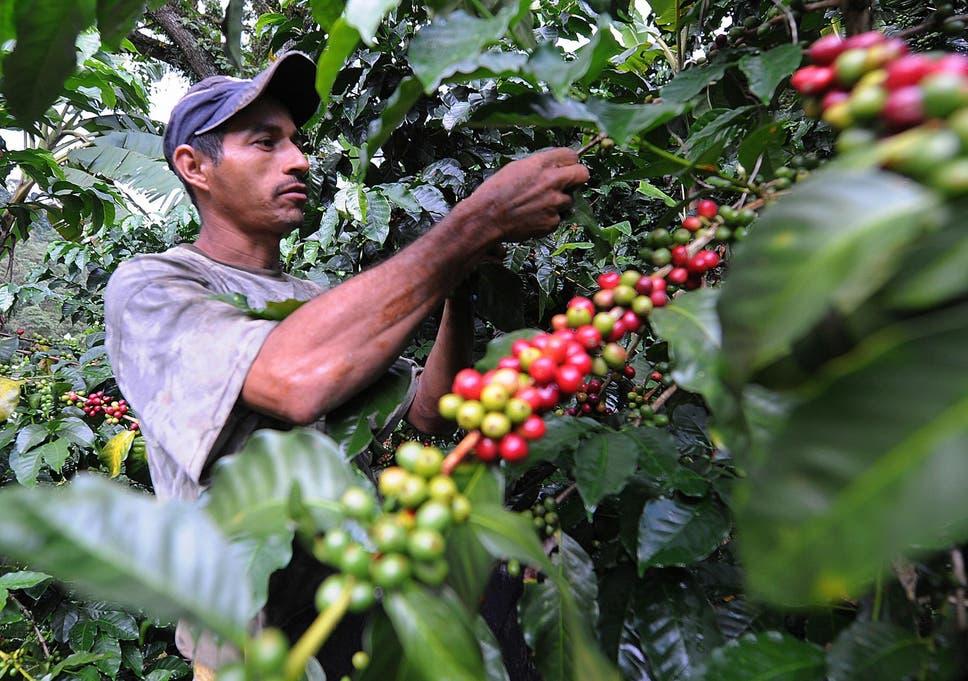 Risultati immagini per coffee plant