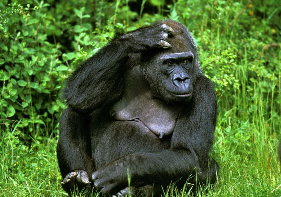 Science Fiction Essay Eastern Lowland Gorillas Are Among The Primates Threatened With Extinction High School Experience Essay also Essay About Healthy Diet More Than  Species Facing Extinction Are Being Hit By Climate  Thesis For Argumentative Essay Examples