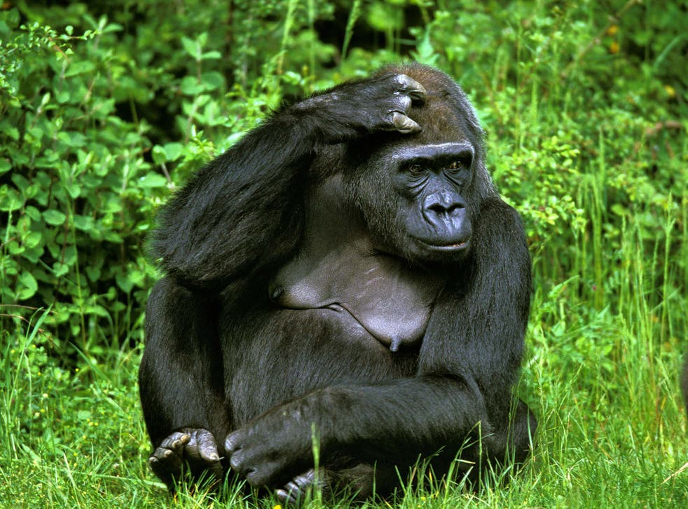 Eastern lowland gorillas are among the primates threatened with extinction