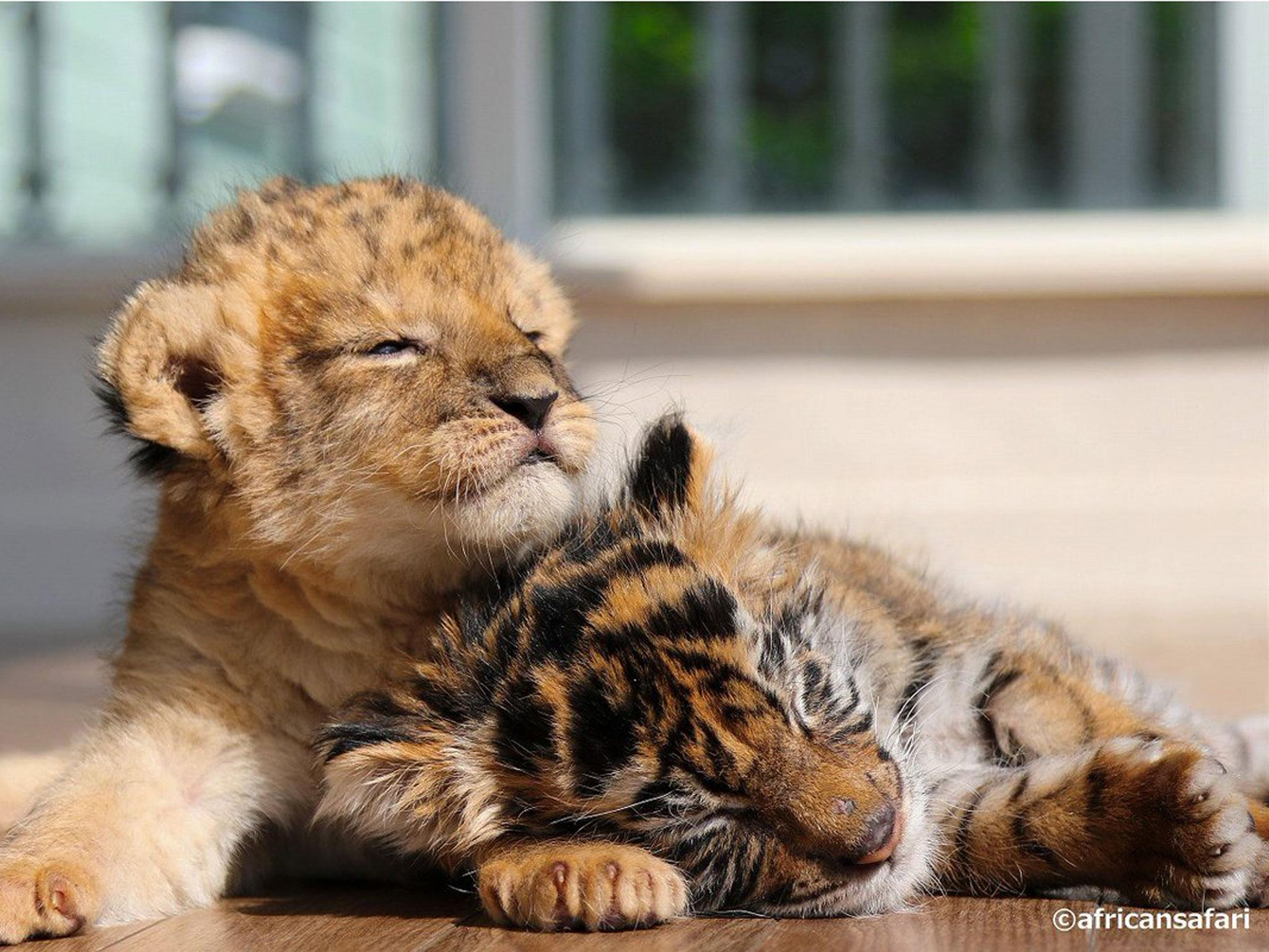 pic of lion and tiger