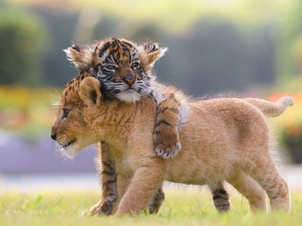 Cute lion and tiger cubs appear to be best friends in adorable the lion and tiger cubs appear to be inseparable altavistaventures Images