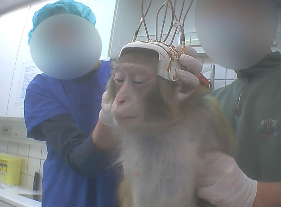 A monkey being used for neuroscience research in a German laboratory in 2014