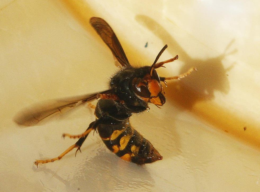 """An Asian hornet, Latin name """"Vespa Velutina"""", is seen in a beehive in Fargues Saint Hilaire, south western France, December 1, 2009"""