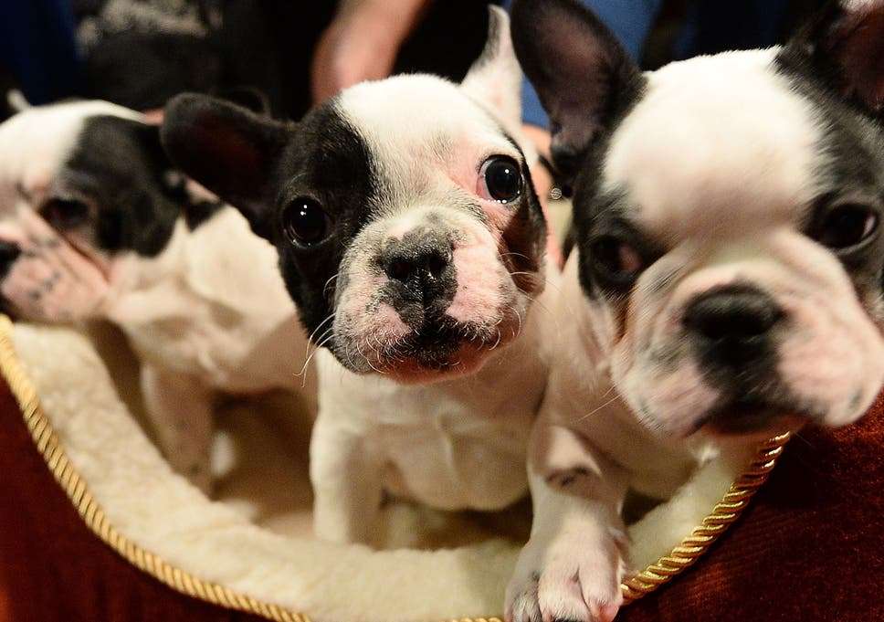 Vets Warn Against Buying Flat Faced Dogs Including Pugs And