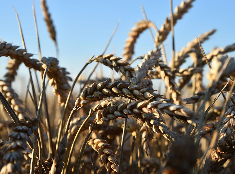 In many parts of the world and throughout history, wheat or rice famines have led to widespread starvation