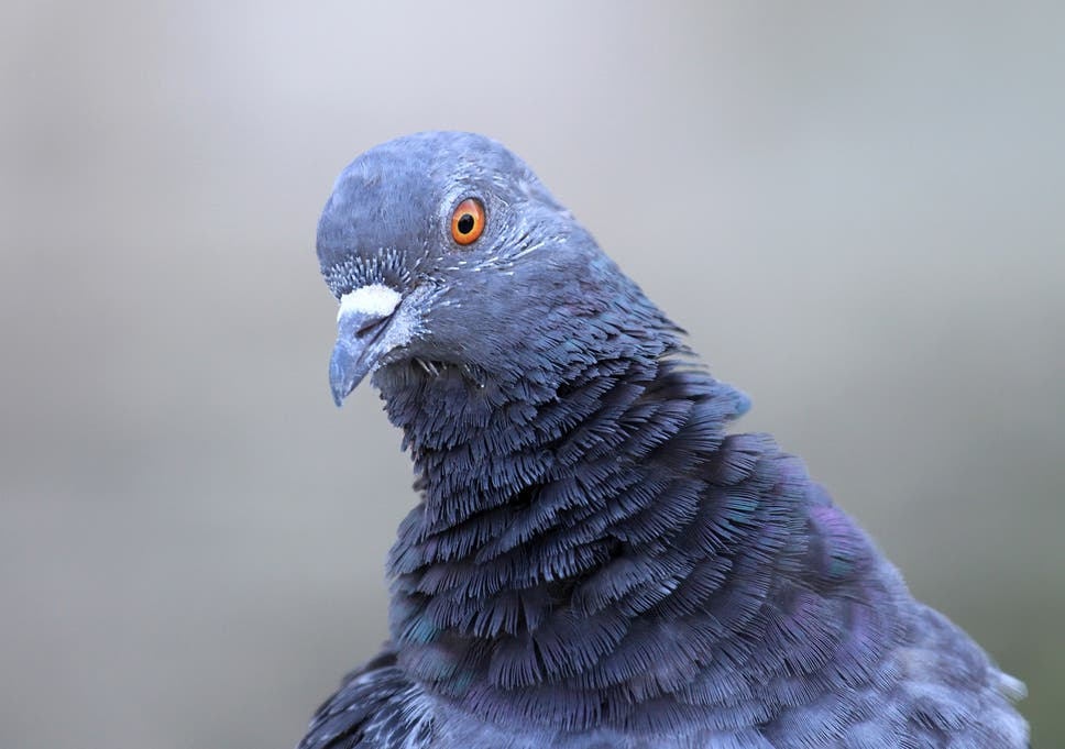 Police detain pigeon in India carrying note threatening