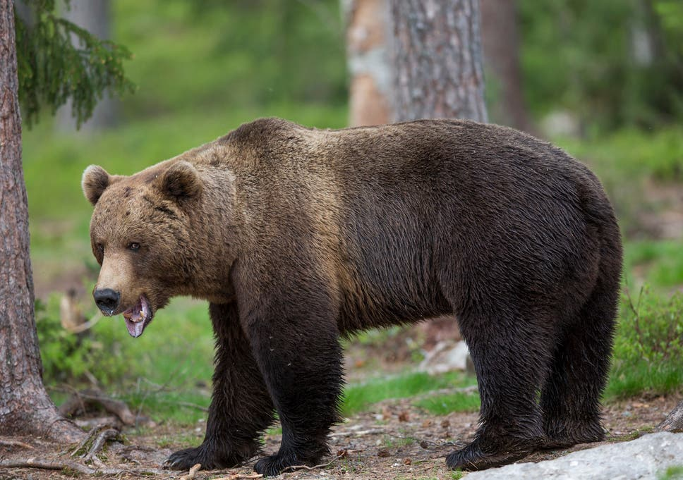 imported brown bear released in pyrenees leading to farmers