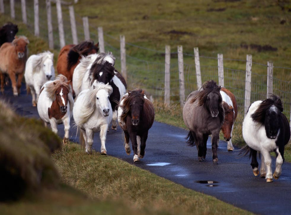Shetland ponies are said to have lived on Foula Island since the Bronze Age