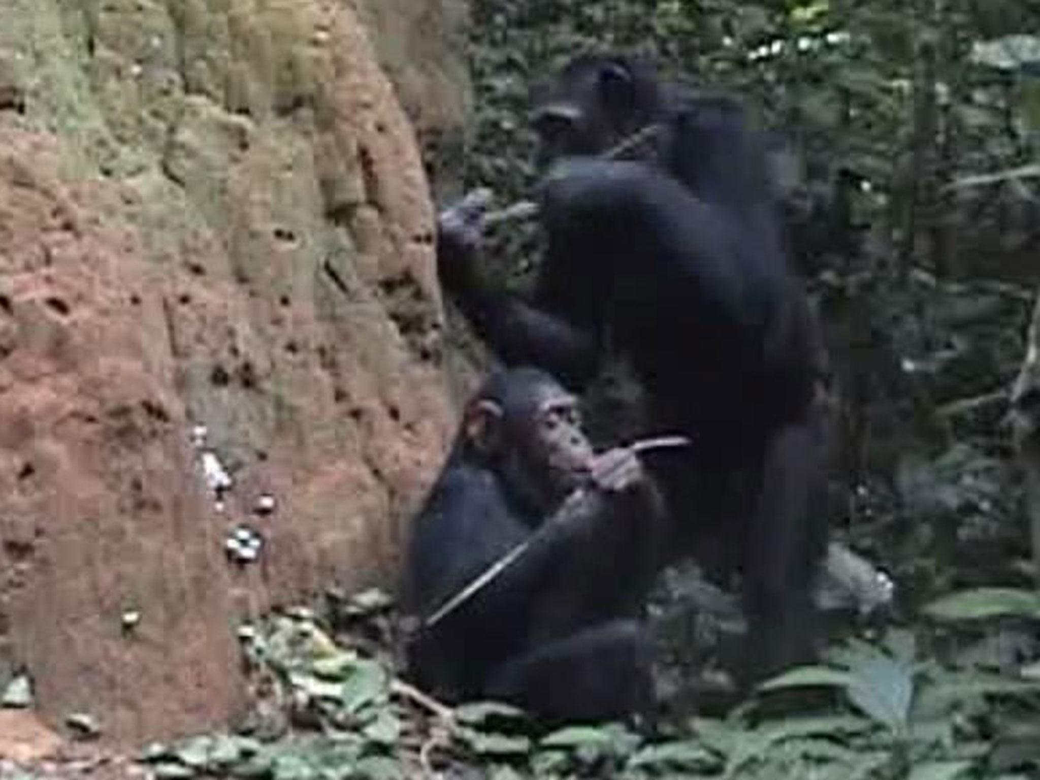 wild chimps filmed teaching their children how to use tools for