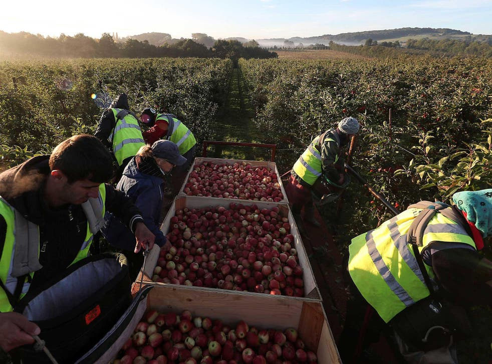 Migrant workers pick apples at Stocks Farm in Suckley, Britain