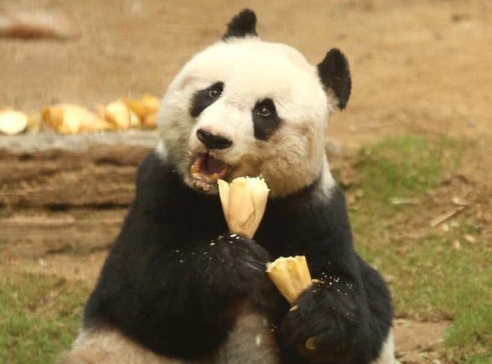 Jia Jia, the world oldest panda, died in October aged 38 - seven years older than Pan Pan