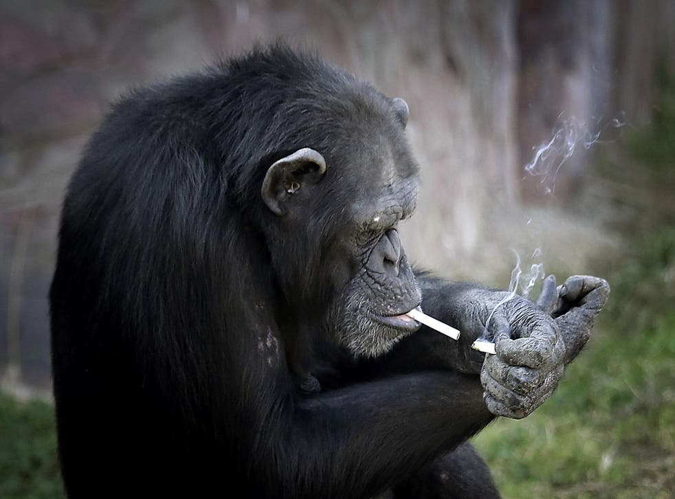 Azalea the chimp lights one cigarette using another at the Central Zoo in Pyongyang, North Korea