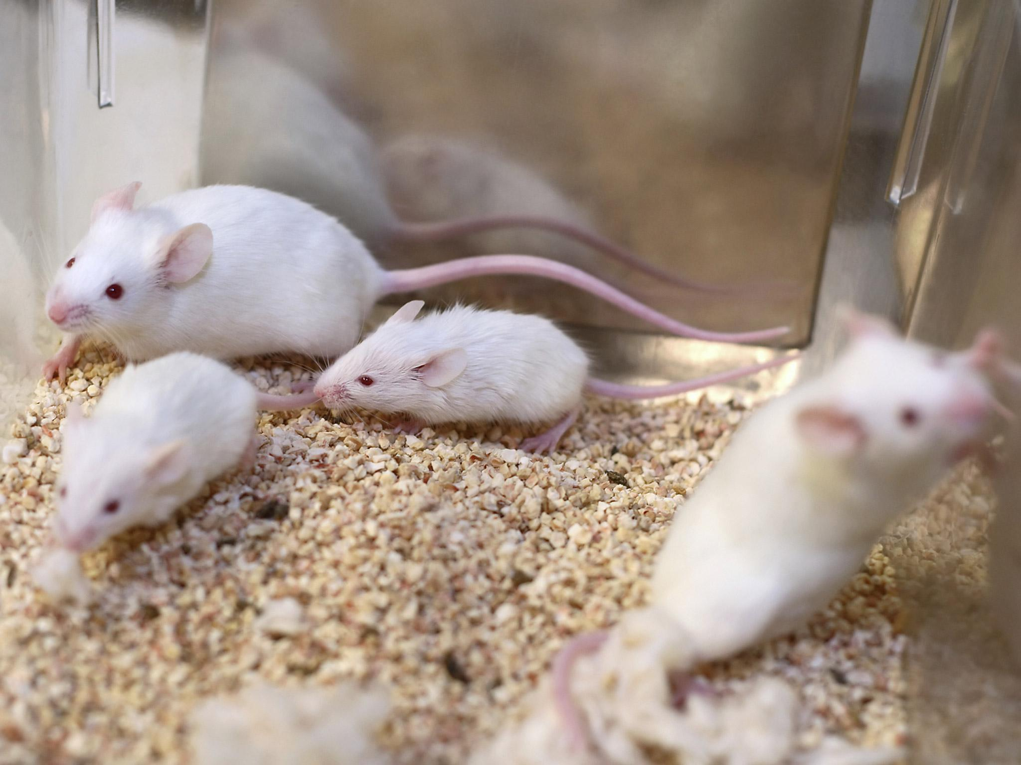 Scientists hail 'promising cure' for HIV after study in mice