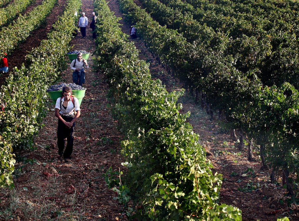 Lebanese workers pick grapes at a vinyard in the village of Khirbet Qanafar in Lebanon's Bekaa valley