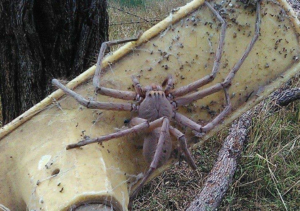 Giant huntsman spider captured on camera in Australia | The