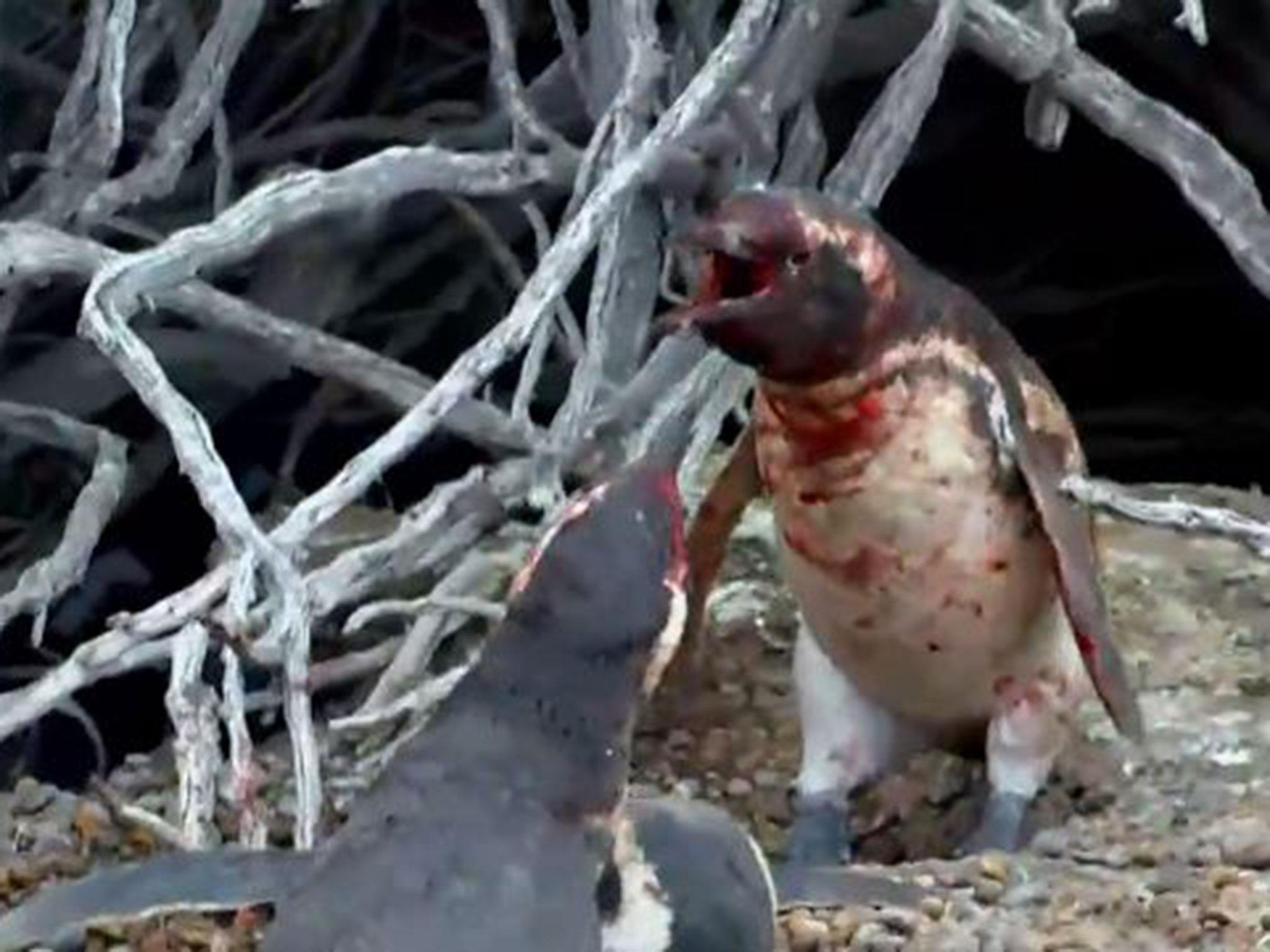 Video shows penguin getting into huge fight over adulterous female after her mate comes home