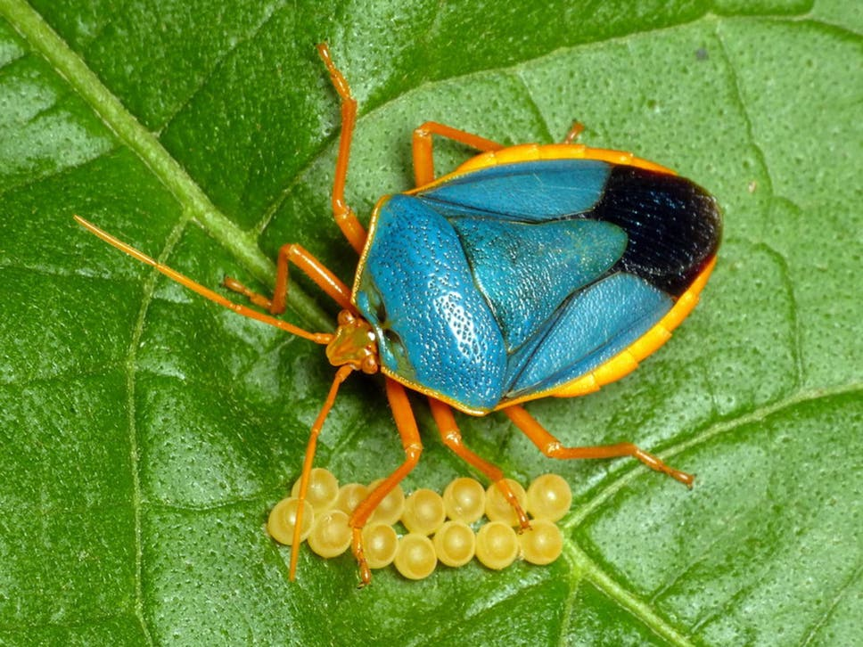 Why protective parenting is key for the survival of tropical insects why protective parenting is key for the survival of tropical insects fandeluxe Images