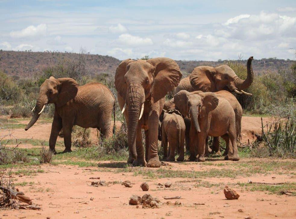 Poaching has driven a 30% decline in Africa's savannah elephants