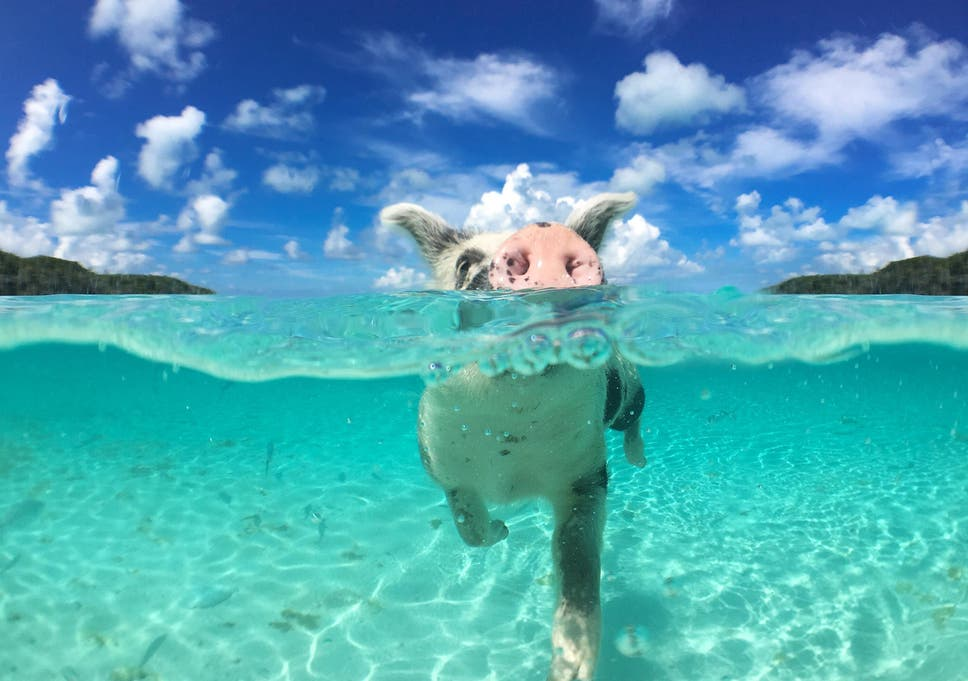 Pig Island Bahamas Home to the Swimming Pigs Bahamas Vacation