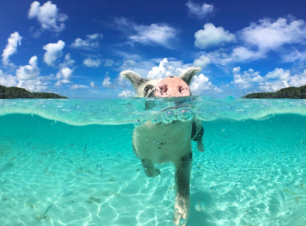 Splash around with swine in the Bahamas