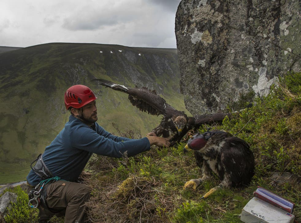 Conservationist Ewan Weston prepares to put two seven and a half week old Golden Eagle chicks back in their nest after attaching GPS satellite tags to them at a remote nest site near Loch Ness in 2015