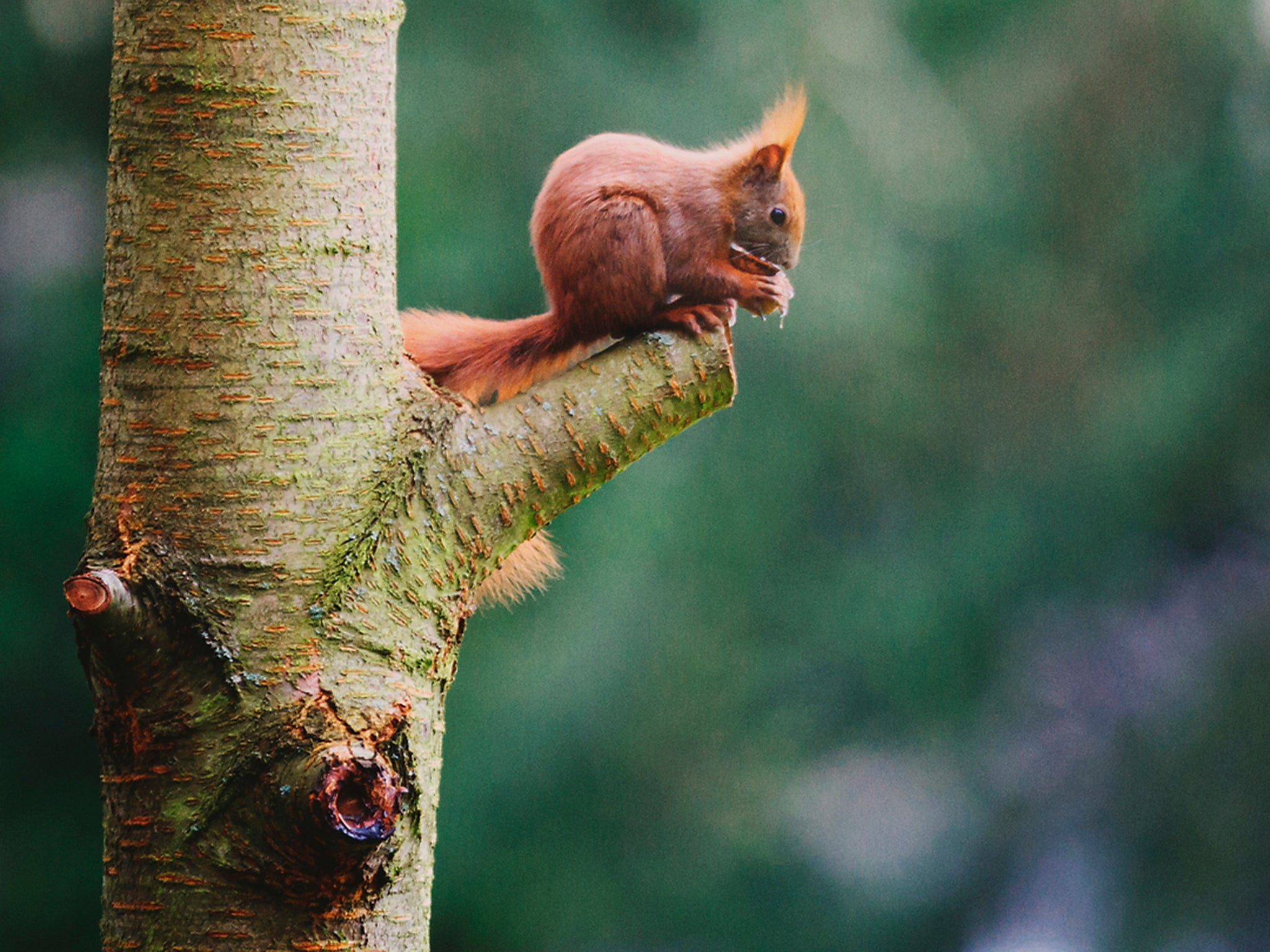 British red squirrels are suffering from an outbreak of medieval leprosy | The Independent