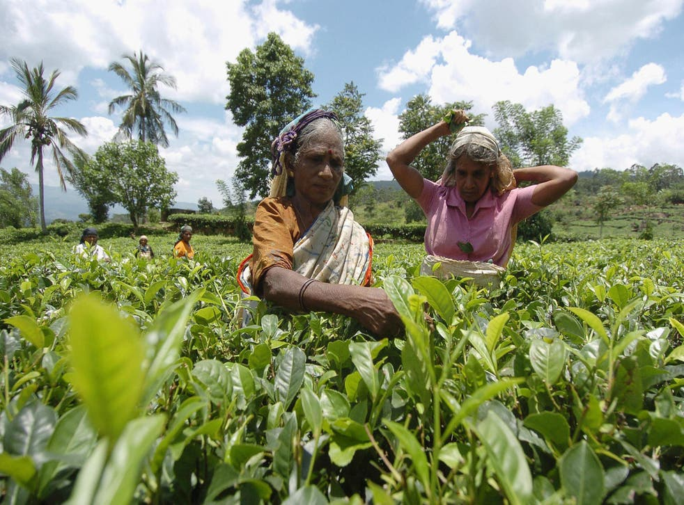 Sri Lanka is famed for its teas and plantations carpet the hill country round Kandy