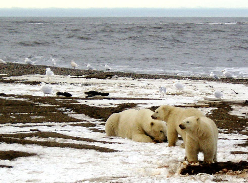 A polar bear sow and two cubs are seen on the Beaufort Sea coast within the 1002 Area of the Arctic National Wildlife Refuge in this undated handout photo provided by the U.S. Fish and Wildlife Service Alaska Image Library on December 21, 2005