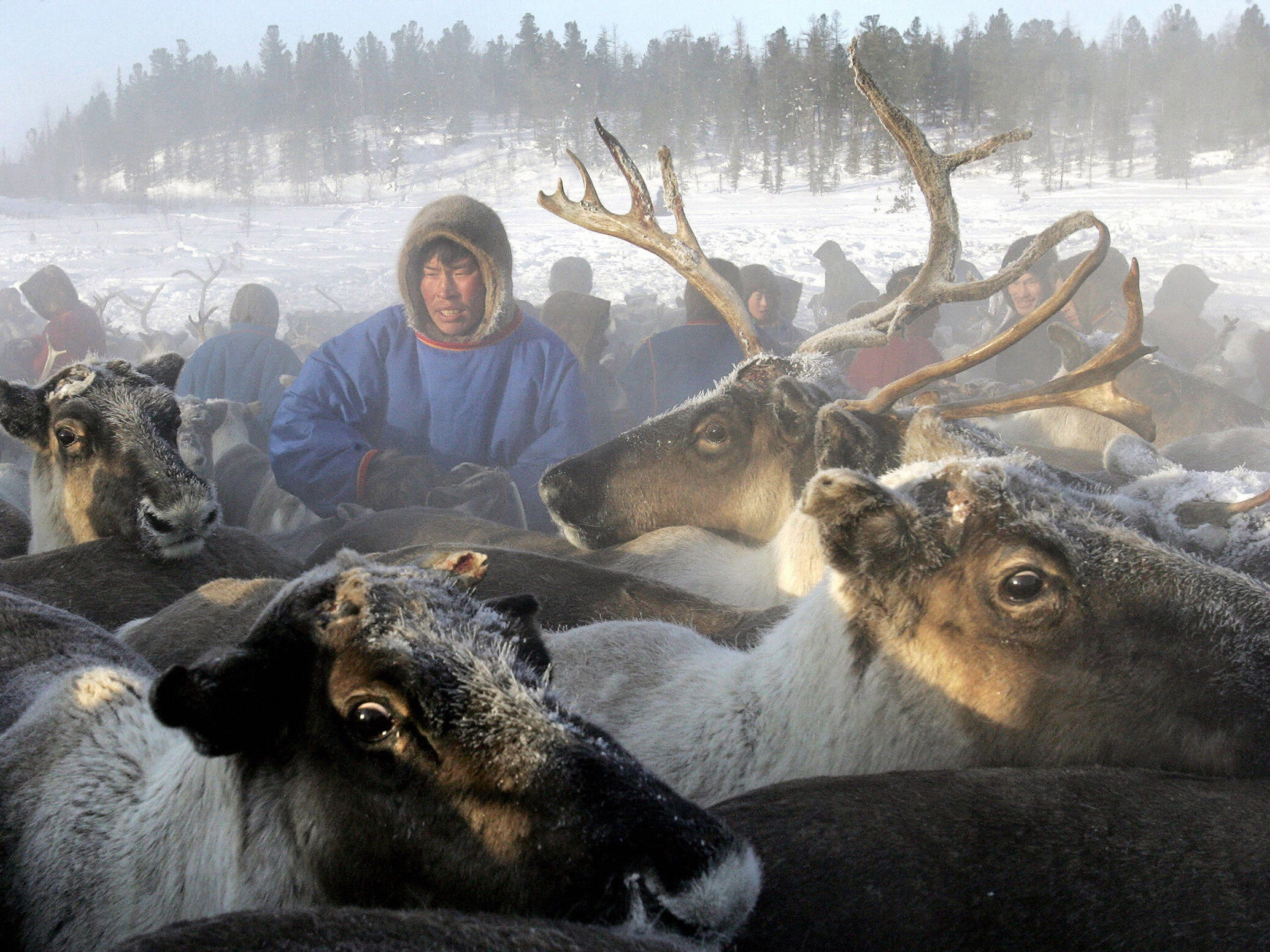 starvation has killed 80 000 reindeer in siberia because of