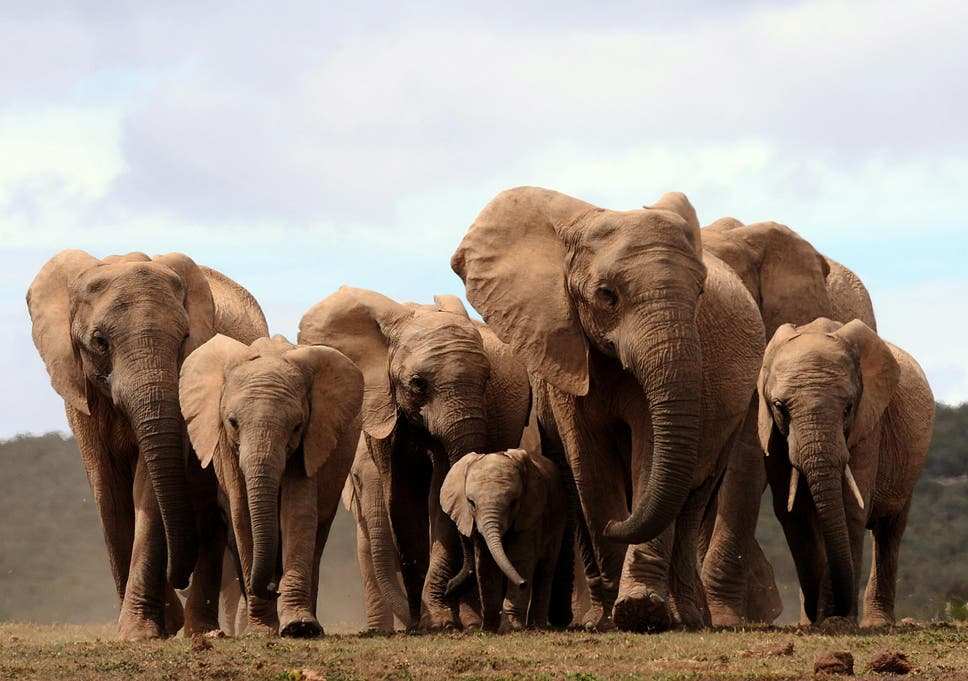 African Elephants Are Being Born Without Tusks Due To Poaching