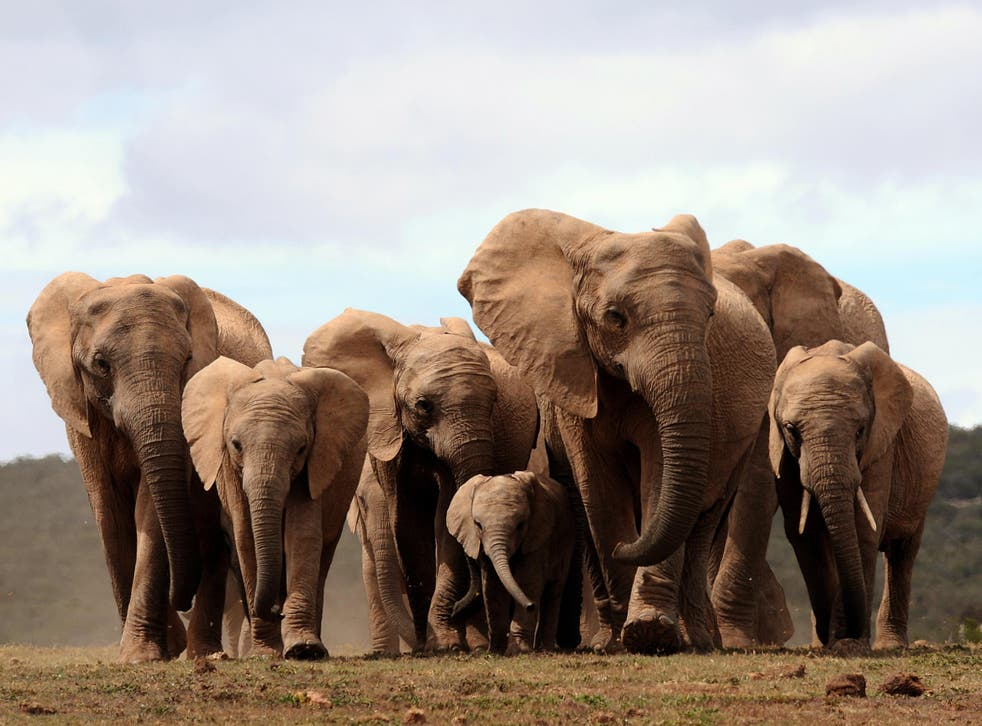 African elephant ivory will be phased out from 31 March