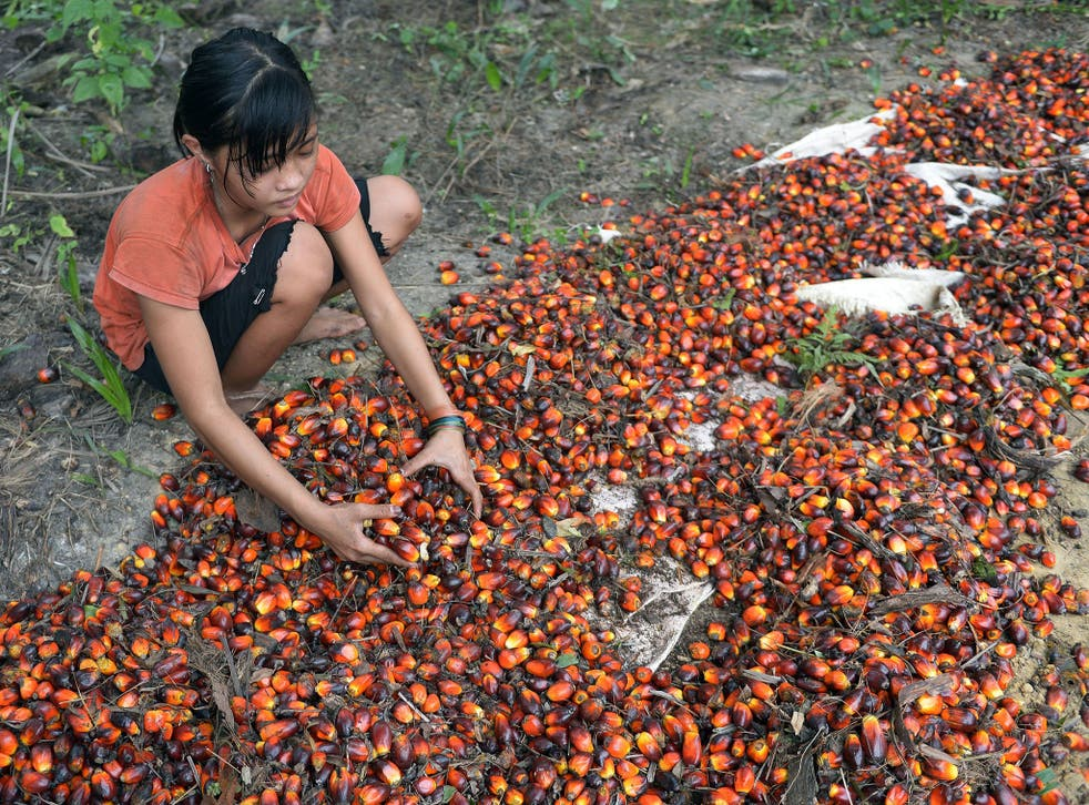 Children in Indonesia work with their families or after school at palm oil plantations