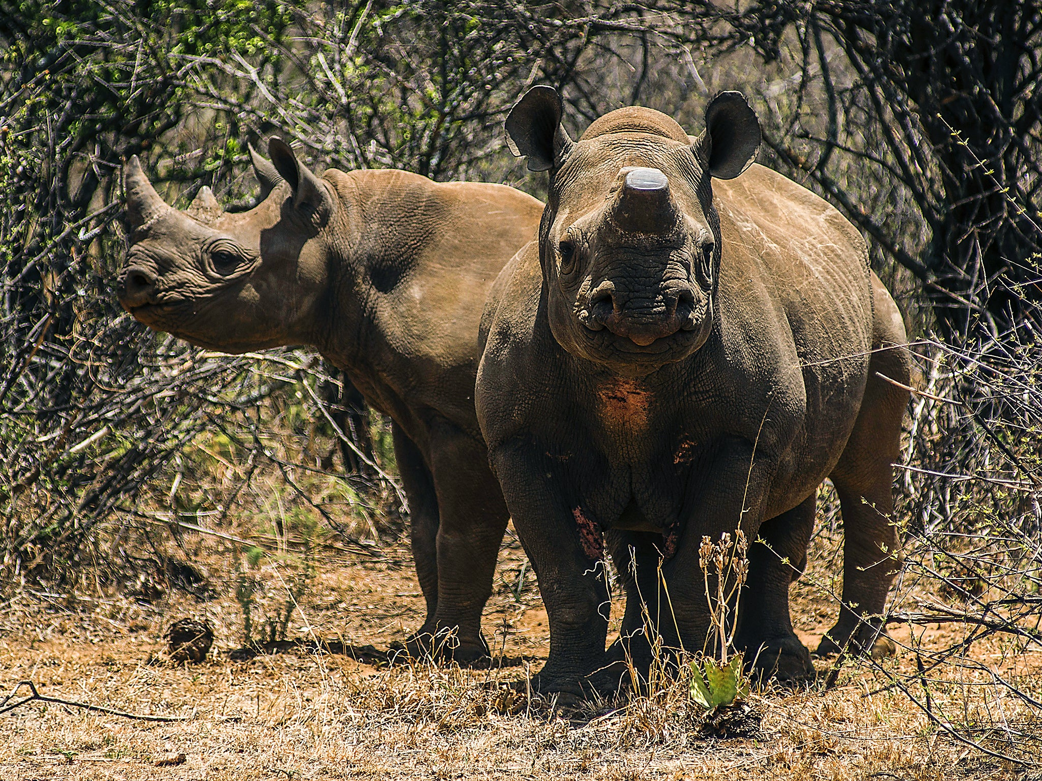 Horns Of A Dilemma Legal Trade In Rhino Horn Could Save