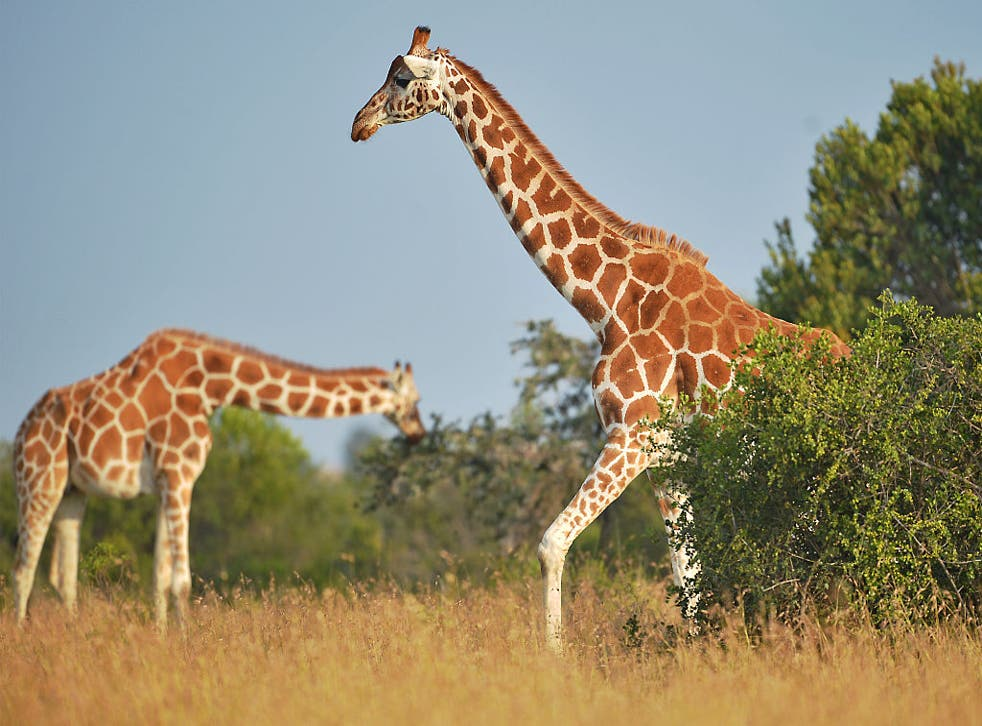 A growing human population and illegal hunting have contributed to a decline of 66,000 giraffes since 1985