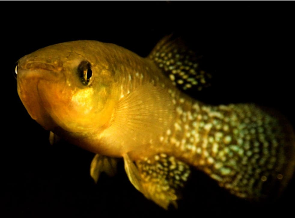 Atlantic killifish like this one have adapted to highly toxic levels of pollution