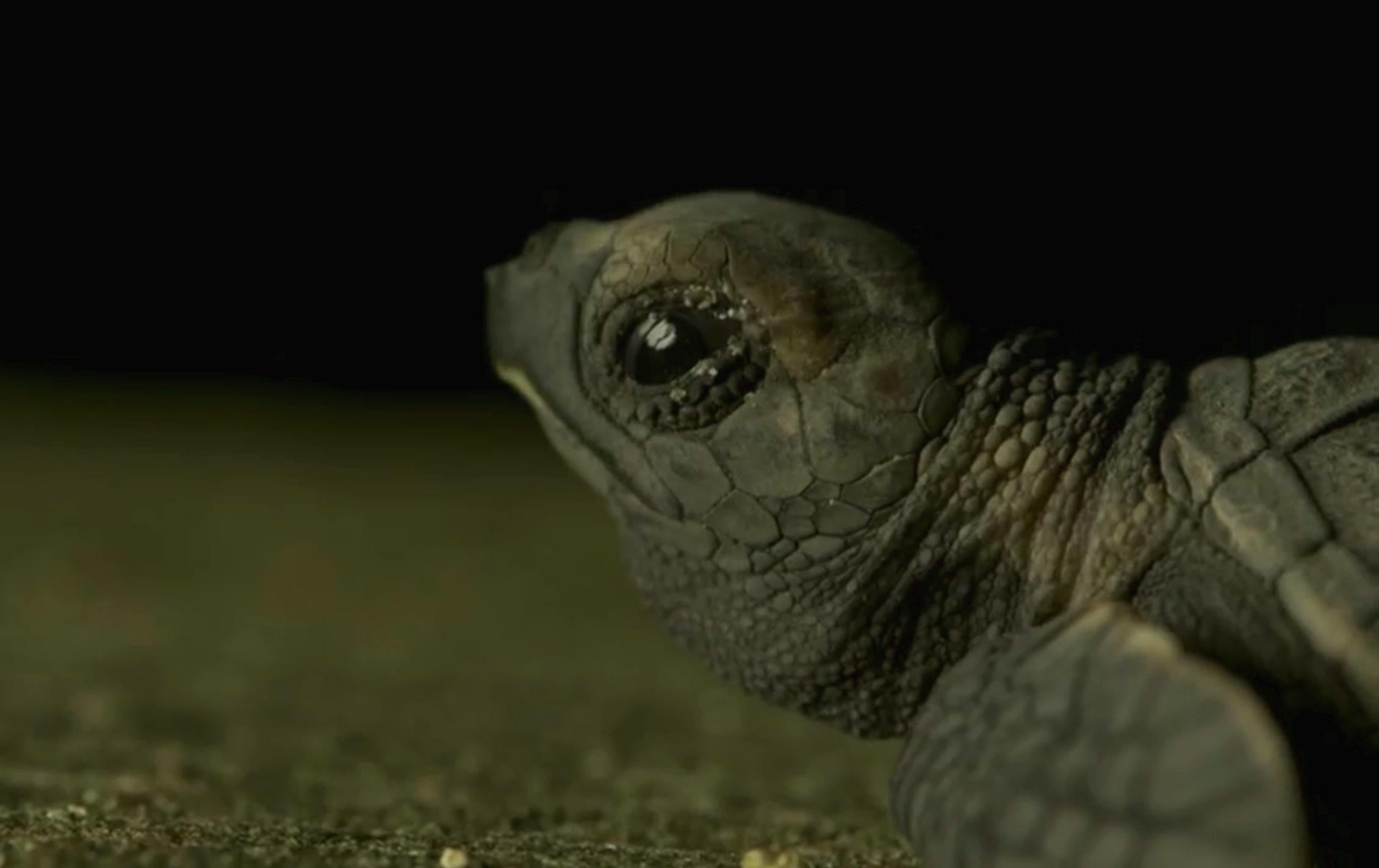 the planet earth 2 crew put every turtle hatchling it saw or
