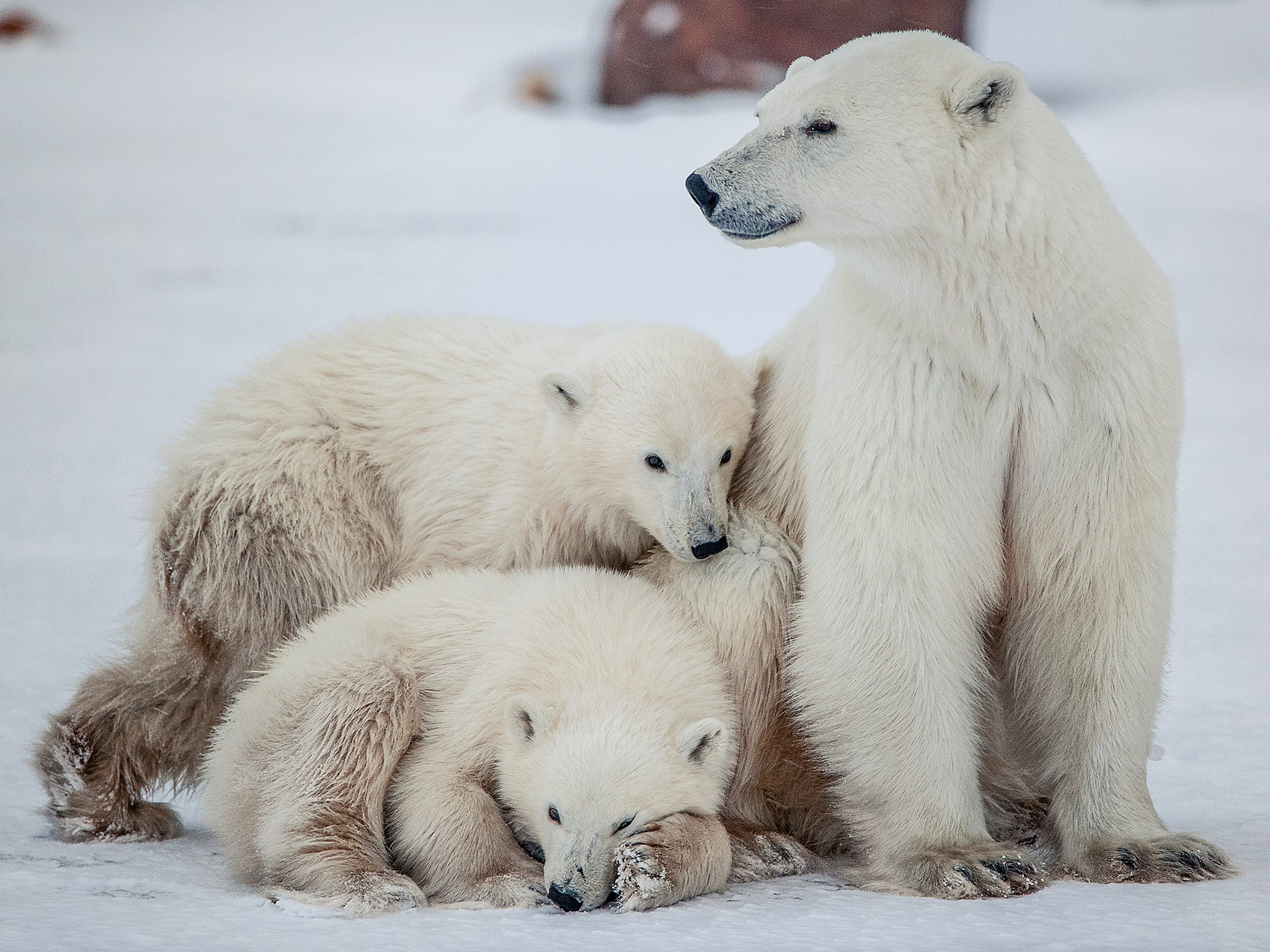 essay on polar bears and global warming Global warming is a serious issue and is not a global warming essay, causes of global warming species that include polar bears and tropical frogs will be.