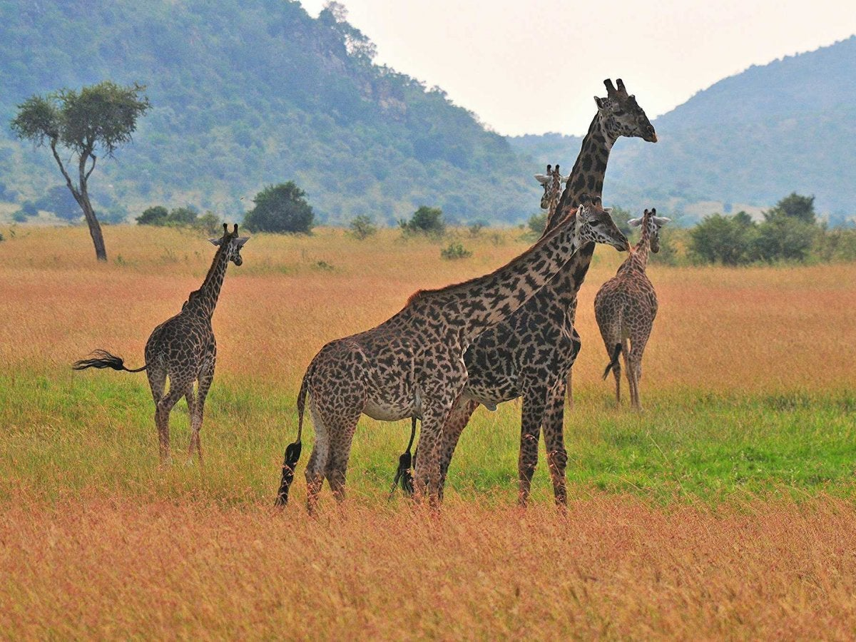 giraffes should be listed as endangered species as population