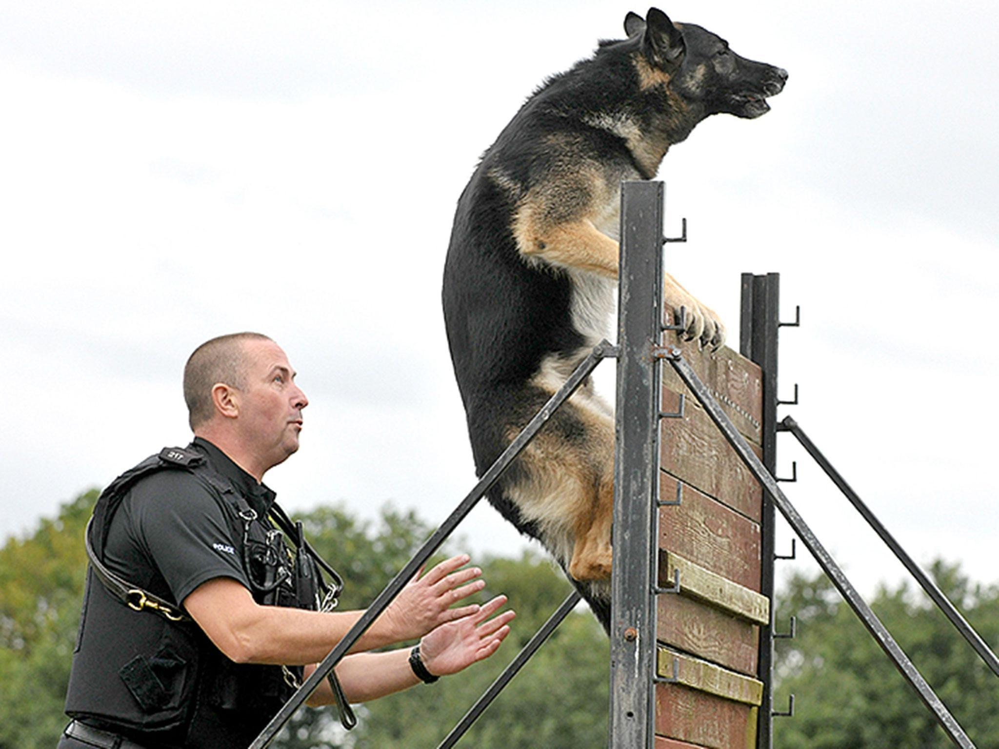 Police Dog Who Made 170 Arrests Falls Asleep Peacefully
