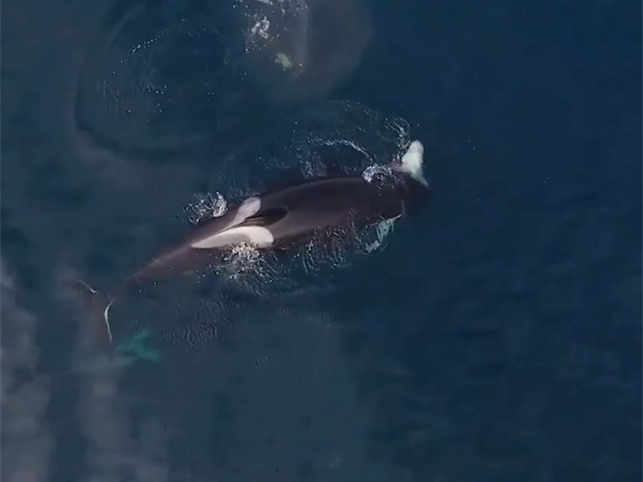 Drone video captures killer whales eating a shark alive ...