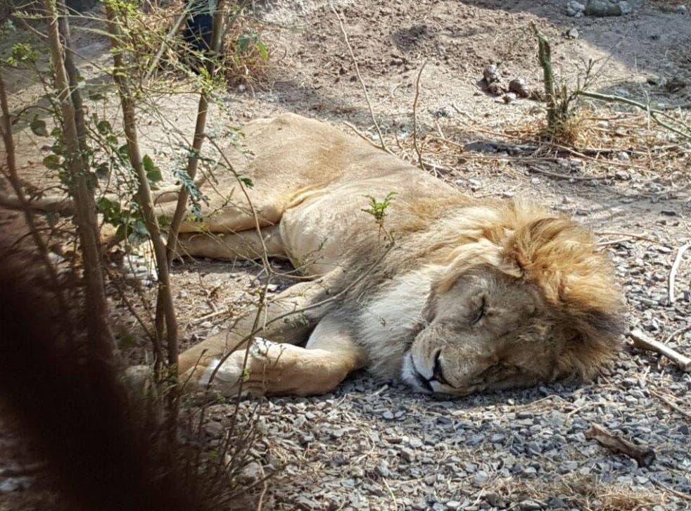 Ms Jonkergouw said a lion in the zoo 'might die' due to illness stemmed from lack of food and sanitation