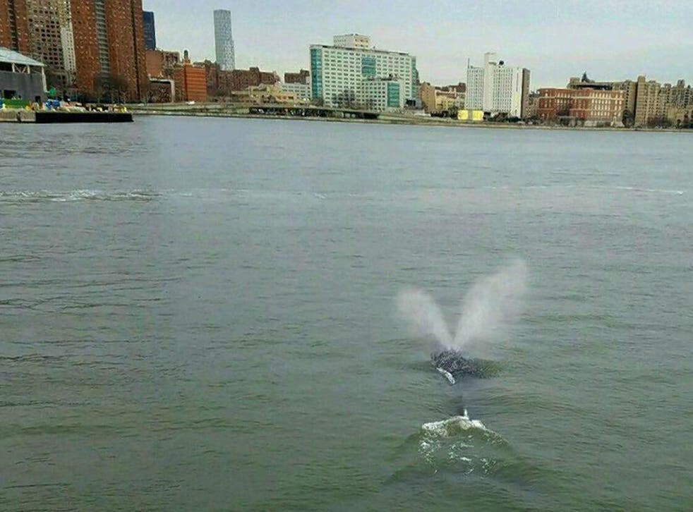 Reports suggest the creature is a humpback whale