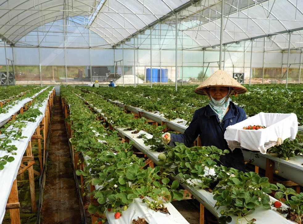 DA LAT, VIET NAM- FEB 9, 2016: Female worker working on strawberry garden, high tech agriculture to make clean and safe product, woman harvest fruit from strawberries plant at Dalat, Vietnam