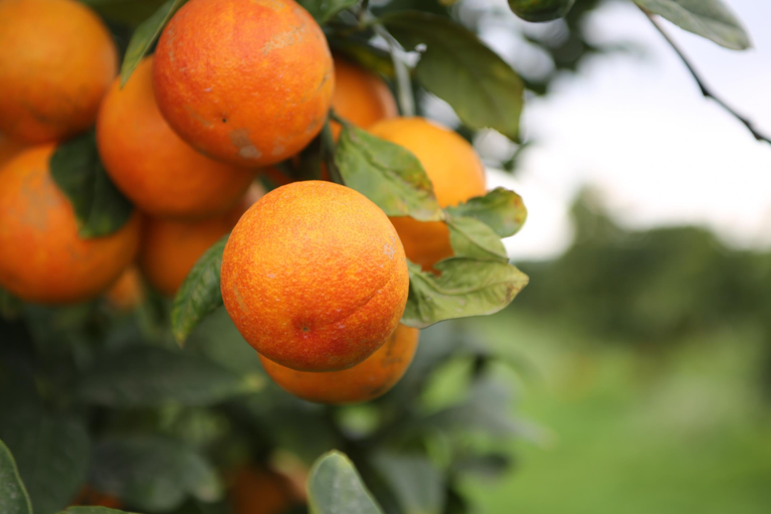 How To Make The Most Of The Short And Sweet Blood Orange Season The Independent The Independent