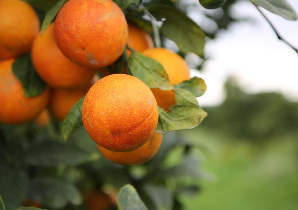 Orange growers could face brunt of US trade wars amid cheap imports