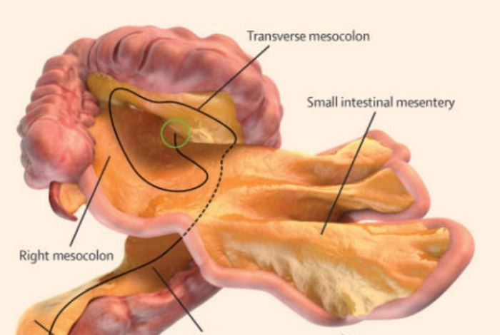 Mesentery: New organ discovered inside human body by scientists (and ...