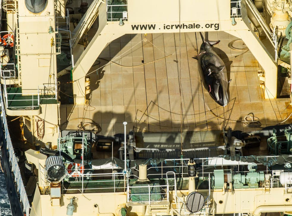 Photo made available by Sea Shepherd allegedly shows a dead Antarctic mink whale on board the Japanese vessel Nisshin Maru on 15 January 2017