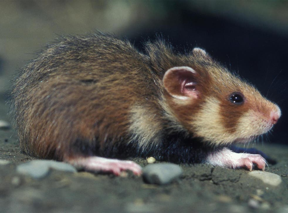 A wild hamster from north-eastern France coming out of its hole. Ecologists have been fighting for some years to protect the rodent which in the past was considered a pest by farmers.