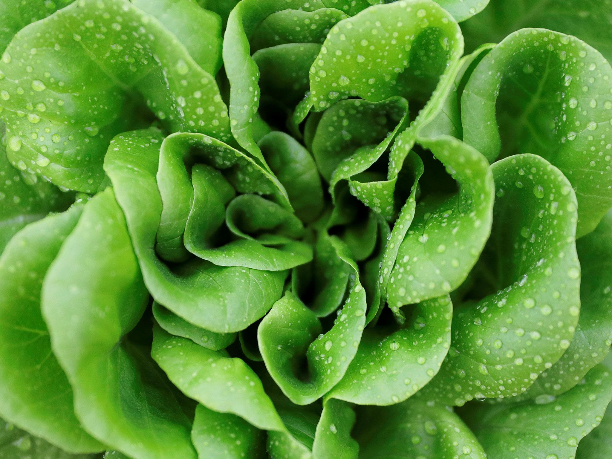 Lettuce shortage: Vegetable rationing spurs rise in sale of seeds as British people turn to grow own greens