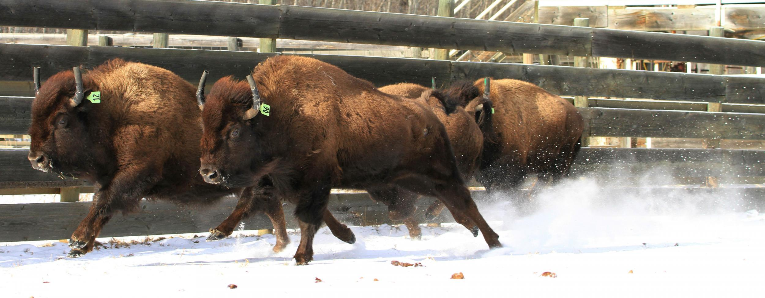 wild bison roam canada u0027s oldest national park for first time in
